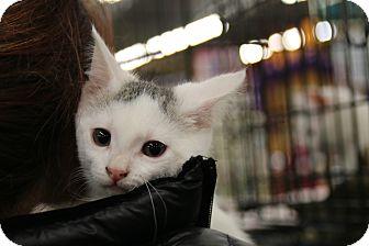 Domestic Shorthair Kitten for adoption in Rochester, Minnesota - Muir