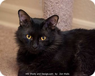 Domestic Longhair Cat for adoption in Fountain Hills, Arizona - Buddha