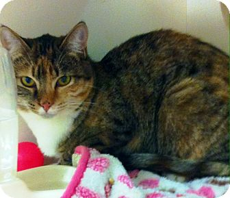 Calico Cat for adoption in Riverside, California - Windy
