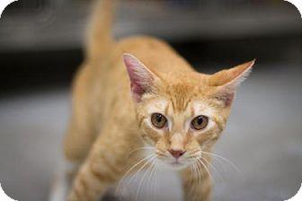 Domestic Shorthair Cat for adoption in Bradenton, Florida - Tiger