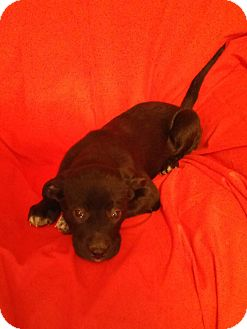 Labrador Retriever Mix Puppy for adoption in Hillsboro, Illinois - Gidget