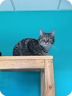 Domestic Shorthair Cat for adoption in Brookings, South Dakota - Stephen