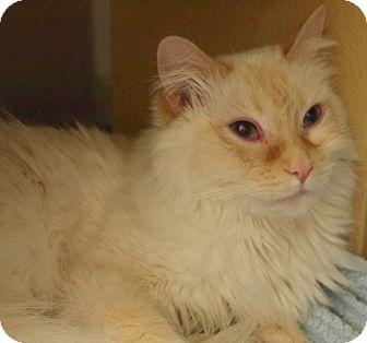 Siamese Cat for adoption in Buhl, Idaho - Bleu