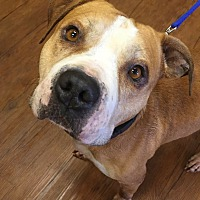 Adopt A Pet :: Odin - Bloomfield, NJ