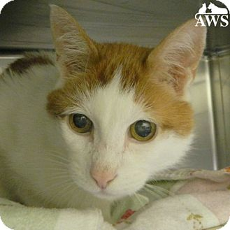 Domestic Shorthair Cat for adoption in West Kennebunk, Maine - Dunkin
