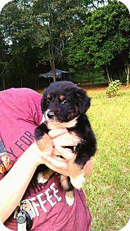 Shepherd (Unknown Type)/Australian Shepherd Mix Puppy for adoption in Ellaville, Georgia - Minnie (adoption pending)