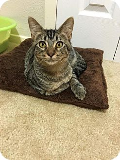 Domestic Shorthair Kitten for adoption in Mansfield, Texas - Kiwi