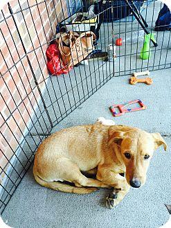Basset Hound/Retriever (Unknown Type) Mix Dog for adoption in waterbury, Connecticut - Eddison