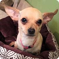 Chihuahua Mix Dog for adoption in Alpharetta, Georgia - Blaize