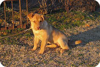 Shar Pei/Shepherd (Unknown Type) Mix Puppy for adoption in Hartford, Connecticut - LOTUS