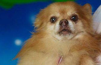 Pomeranian Dog for adoption in Dallas, Texas - Rillo