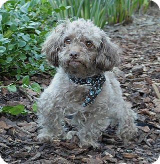 Poodle (Miniature) Mix Dog for adoption in Rancho Palos Verdes, California - Fozzie