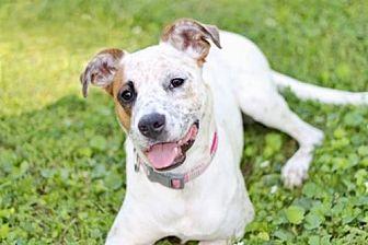 Australian Cattle Dog Mix Dog for adoption in Washington, D.C. - BELLA