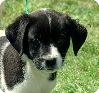 Beagle/Terrier (Unknown Type, Small) Mix Puppy for adoption in PRINCETON, Kentucky - Dotti/ADOPTED