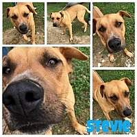 Adopt A Pet :: Stevie - Quinlan, TX