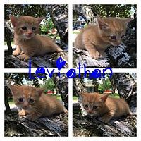 Adopt A Pet :: Leviathan - Garden City, MI