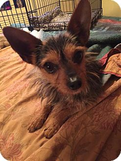 Yorkie, Yorkshire Terrier/Chihuahua Mix Dog for adoption in Westminster, Maryland - Nacho