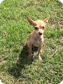 Chihuahua Dog for adoption in Los Angeles, California - Cysco