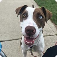 Adopt A Pet :: HAZEL- adoption pending - Morgantown, IN
