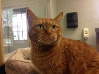Domestic Shorthair/Domestic Shorthair Mix Cat for adoption in Lufkin, Texas - Camillia