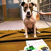 American Pit Bull Terrier Mix Dog for adoption in Albuquerque, New Mexico - D. O. G.