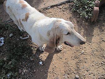Basset Hound Dog for adoption in Albuquerque, New Mexico - Reacher