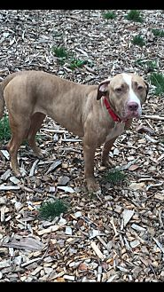 American Pit Bull Terrier Mix Dog for adoption in South Park, Pennsylvania - Mariah
