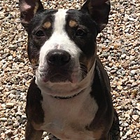 Adopt A Pet :: Beauregard - Middlebury, CT