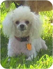 Miniature Poodle Mix Dog for adoption in Melbourne, Florida - BREANNA