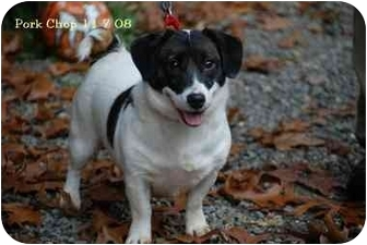 Jack Russell Terrier Mix Dog for adoption in Rhinebeck, New York - Pork Chop