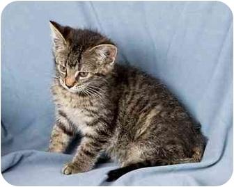 Domestic Shorthair Kitten for adoption in Anna, Illinois - MARIA