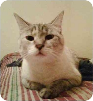 Siamese Cat for adoption in Germantown, Tennessee - Sophie