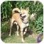 Photo 1 - Jindo/Akita Mix Dog for adoption in Southern California, California - Sugar