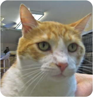 Domestic Shorthair Cat for adoption in Deerfield Beach, Florida - Wellington