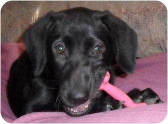 Labrador Retriever Mix Dog for adoption in Brooklyn Park, Minnesota - Shirley