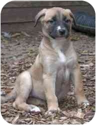 Labrador Retriever/Hound (Unknown Type) Mix Puppy for adoption in Raritan, New Jersey - Perla