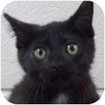 Domestic Shorthair Kitten for adoption in Wheaton, Illinois - Fifi