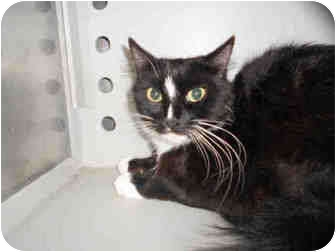 Domestic Shorthair Cat for adoption in Yuba City, California - Unknown