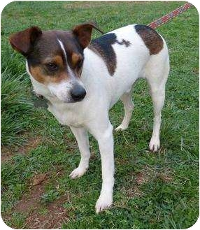Jack Russell Terrier/Rat Terrier Mix Dog for adoption in Bedford, Virginia - Charlie