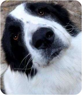 Anatolian Shepherd/Newfoundland Mix Dog for adoption in Pawling, New York - NIECY(ADORES CHILDREN!! LOOK!!