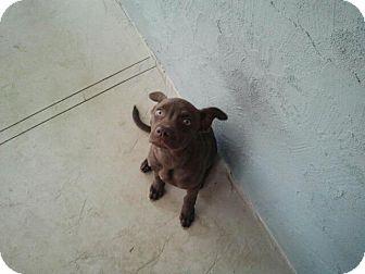 Labrador Retriever Mix Puppy for adoption in San Diego, California - Peanut