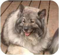 Keeshond Dog for adoption in Urbana, Illinois - Zeus