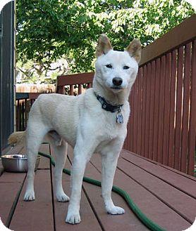 Shiba Inu Dog for adoption in Centennial, Colorado - Yamato