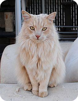 Norwegian Forest Cat Cat for adoption in Palmdale, California - Ranger