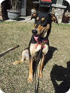 Doberman Pinscher/Shepherd (Unknown Type) Mix Dog for adoption in White Settlement, Texas - Shadow-adoption pending