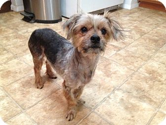 Yorkie, Yorkshire Terrier Mix Dog for adoption in Salem, Oregon - Sammy