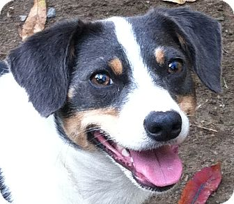 Terrier (Unknown Type, Small)/Beagle Mix Dog for adoption in Grafton, Massachusetts - Jessi
