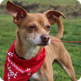 Miniature Pinscher/German Pinscher Mix Dog for adoption in Grants Pass, Oregon - Spidey