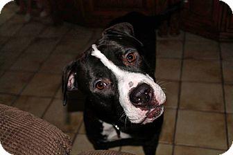 American Staffordshire Terrier/Labrador Retriever Mix Dog for adoption in Lake Worth, Florida - Linus