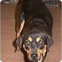 Rottweiler/Terrier (Unknown Type, Medium) Mix Dog for adoption in Grantville, Pennsylvania - Sophie